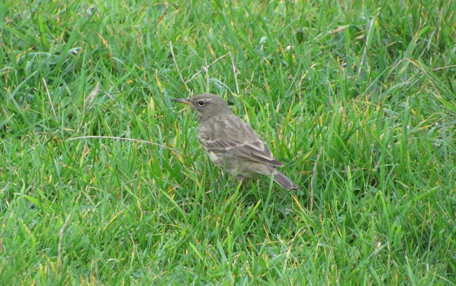 Rock Pipit - Godrevy in Cornwall